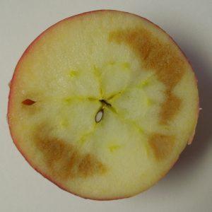 Soggy breakdown symptoms in Honeycrisp apple.