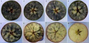 8 starch staining patterns in Honeycrisp apples.