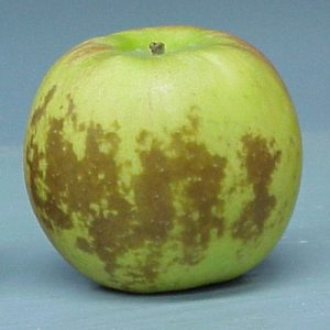Superficial scald in apple.