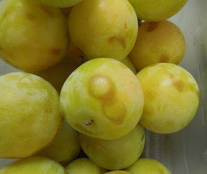 Vibrational bruising on Shiro plums.