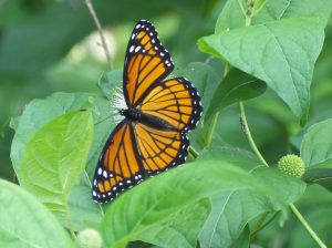 Viceroy on wild Button Bush