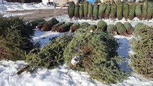 Bundled Christmas trees for sale