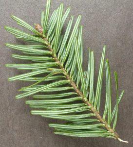 Underside of a Balsam twig