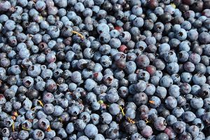 an abundance of raked, cleaned blueberries in a box