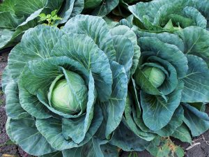 cabbage growing in a garden