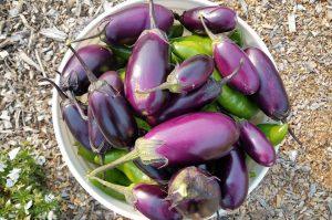 a bucket of freshly picked eggplants