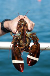 person holding up a live lobster with banded claws