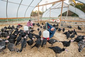 Extension poultry expert and turkey producer with turkeys