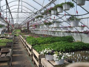 Greenhouse showing intensive production methods and diverse crops. Furnaces are at both ends of the greenhouse.