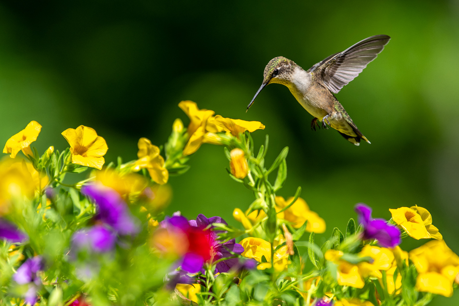 Bulletin #7152, Understanding Ruby-Throated Hummingbirds and ... on