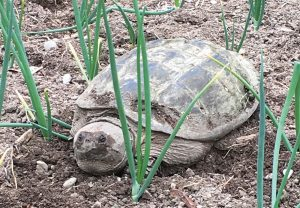 snapping turtle in the garden