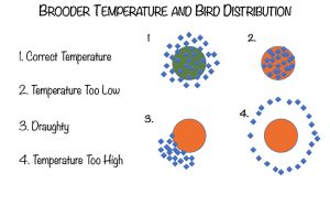 image showing brooder temperature bird distribution: correct temperature, temperature too low, draughty, and temperature too high