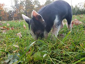 piglet, small pig