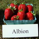 basket of Albion strawberries