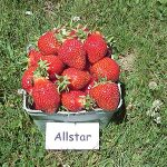 basket of Allstar strawberries