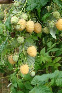 Raspberry bush showing the Anne variety
