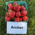 basket of Archer strawberries