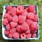 Basket of Autumn Bliss variety raspberries