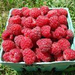 Basket of Boyne variety raspberries