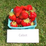 basket of Cabot strawberries