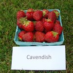 basket of Cavendish strawberries