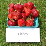 basket of Clancy strawberries