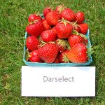 basket of Darselect strawberries