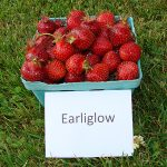 basket of Earliglow strawberries