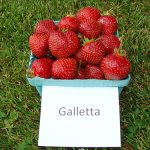 basket of Galletta strawberries