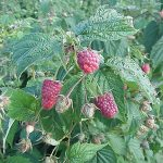Jaqulyn Nourse raspberry bush
