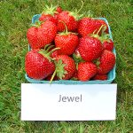 basket of Jewel strawberries