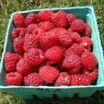 basket of Latham variety raspberries