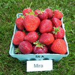 basket of Mira strawberries