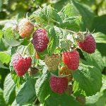 Polana variety raspberry plant