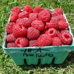 basket of Prelude variety raspberries