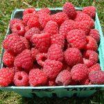 basket of Taylor variety raspberries