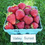 basket of Valley Sunset strawberries