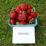 basket of Wendy strawberries