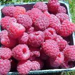 Basket of Autumn Britten raspberries