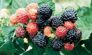 Jewel varity of raspberry bush