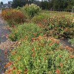 Late August blooms in a Bee Module garden