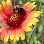 Bumble bee on blanketflower