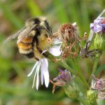 Orange-belted bumble bee on heart-leaved aster