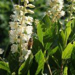 Bee on Coastal sweetpepperbush
