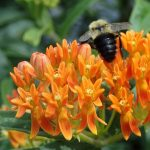 Butterfly milkweed with bumble bee
