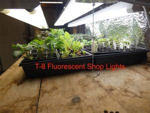 Seedlings growing under fluorescent T-8 shop lights