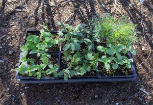 Hardening off seedlings outdoors