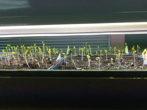 Just germinated seedlings under lights.