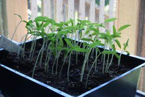 leggy, leaning tomato seedlings on a windowsill