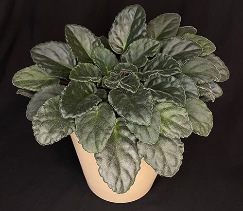 African violet with no flowers
